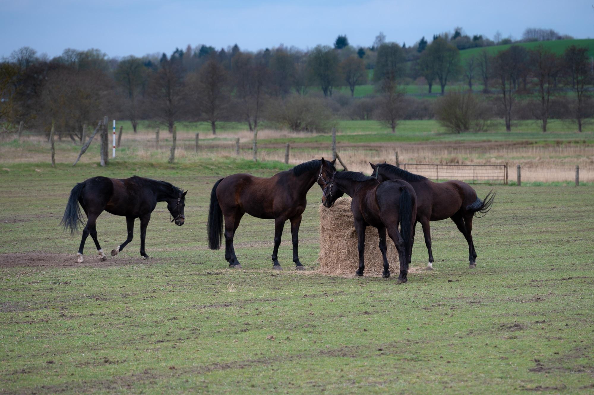 Pferde auf der Koppel